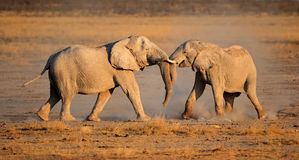 African elephants fighting Royalty Free Stock Photography