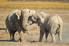 African elephants fighting Stock Images