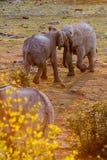 African Elephants Fighting in Sunset, Etosha National Park, Namibia Stock Photography
