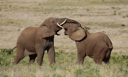 African Elephants fighting / trunk wrestling royalty free stock photography