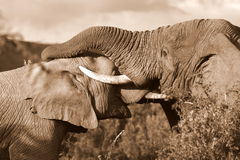 African Elephants fighting / trunk wrestling Royalty Free Stock Photos