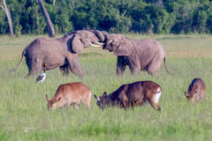 African Elephants Fighting, Tusks Locked Together royalty free stock photography