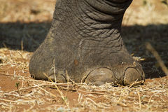 African Elephants Foot Royalty Free Stock Photos