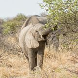 Elephants Foraging. African Elephants foraging in the bush in Namibian savanna Royalty Free Stock Photography