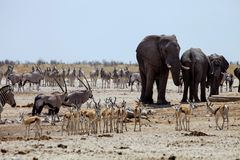 African elephants at Gemsbok, sprinbok and zebras at waterhole Stock Images