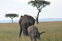 African elephants in grassland