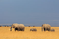 African elephants in grassland Stock Image
