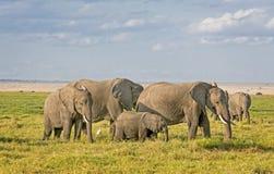 African Elephants. Group of African bush elephants  (Loxodonta africana) , Amboseli National Park, Kenya Stock Images