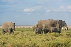 African Elephants. Group of African bush elephants  (Loxodonta africana) feeding in grassland of Amboseli National Park, safari vehicles on background Kenya Stock Photos