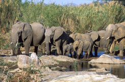 African Elephants Herd. A herd of african elephants in Kruger National Park , South Africa Royalty Free Stock Photography