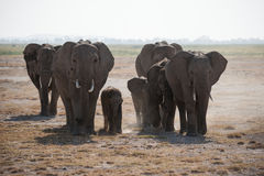 African elephants herd in the wild. Herd of wild elephants kicking up dust and walking on the East African savanna in Amboseli National Park, Kenya Royalty Free Stock Images