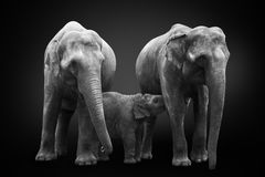African elephants inhabiting South Africa on monochrome black background, black and white. Artistic processing, fine art. Group of African elephants - mum stock photo