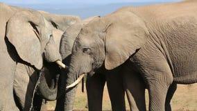 African elephants interacting stock footage