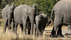 African elephants Stock Photos
