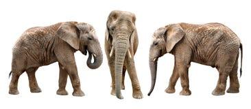 African elephants. Isolated on white Stock Photos