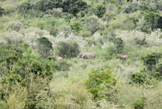 African elephants in its habitat Royalty Free Stock Photography