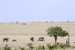 African elephants in its habitat Royalty Free Stock Photo