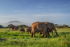 African elephants with Kilimanjaro. In background in early morning light Stock Image