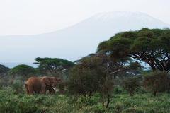African elephants and Kilimanjaro mountain Royalty Free Stock Images
