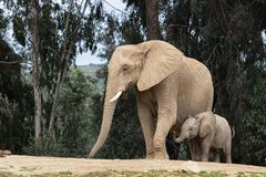Free African Elephants, Kind Loving Tender Relationship, Mother And Child, Cute Tiny Baby Elephant Following Mother, Natural Outdoors Stock Photos - 151714343