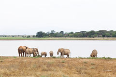 African Elephants At Lake Stock Photography