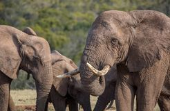African Elephant Herd. African elephants with large tusks in South Africa Stock Image