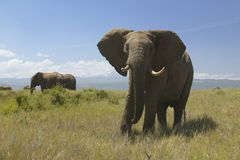 African Elephants at Lewa Conservancy, Kenya, Africa Royalty Free Stock Photo