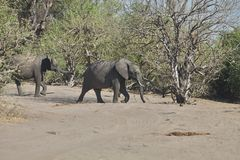 African elephants, Loxodon africana, in Chobe National Park, Botswana Stock Photo