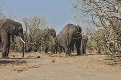 African elephants, Loxodon africana, in Chobe National Park, Botswana Royalty Free Stock Image