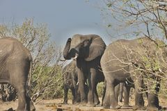 African elephants, Loxodon africana, in Chobe National Park, Botswana Stock Photography