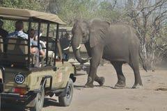 African elephants, Loxodon africana, in Chobe National Park, Botswana Stock Image