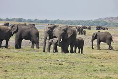 African elephants, Loxodon africana, in Chobe National Park, Botswana Royalty Free Stock Image