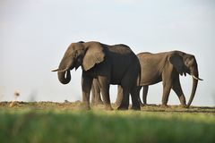 African elephants, Loxodon africana, in Chobe National Park, Botswana Royalty Free Stock Photography