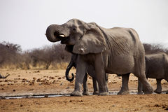 African elephants, Loxodon africana, drinking water at waterhole Royalty Free Stock Image