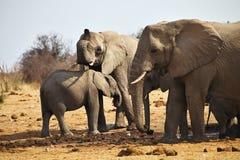 African elephants, Loxodon africana, drinking water at waterhole Etosha, Namibia Stock Images