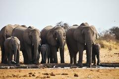 African elephants, Loxodon africana, drinking water at waterhole Etosha, Namibia Stock Photography
