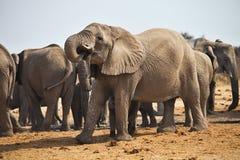 African elephants, Loxodon africana, drinking water at waterhole Etosha, Namibia Stock Photos