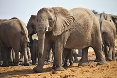 African elephants, Loxodon africana, drinking water at waterhole Etosha, Namibia Royalty Free Stock Images