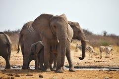 African elephants, Loxodon africana, drinking water at waterhole Etosha, Namibia Royalty Free Stock Photography