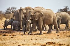 African elephants, Loxodon africana, drinking water at waterhole Etosha, Namibia Stock Photo