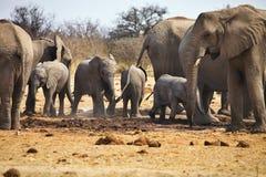 African elephants, Loxodon africana, drinking water at waterhole Etosha, Namibia Royalty Free Stock Image
