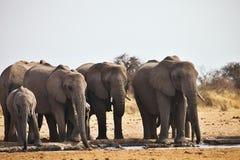 African elephants, Loxodon africana, drinking water at waterhole Etosha, Namibia Stock Image