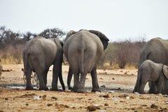 African elephants, Loxodon africana, drinking water at waterhole Etosha, Namibia Royalty Free Stock Photos
