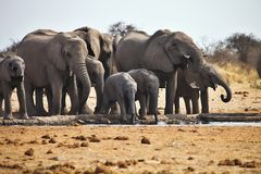 African elephants, Loxodon africana, runs a waterhole Etosha, Namibia Stock Photography