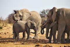 African elephants, Loxodon africana, runs a waterhole Etosha, Namibia Stock Photo