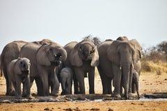 African elephants, Loxodon africana, runs a waterhole Etosha, Namibia Stock Photos