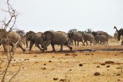 African elephants, Loxodon africana, runs a waterhole Etosha, Namibia Royalty Free Stock Image