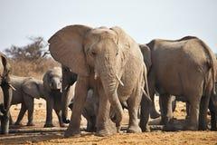 African elephants, Loxodon africana, a waterhole Etosha, Namibia Stock Photos