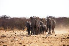 African elephants, Loxodonat africana,  herd goes to watering,  Etosha, Namibia Royalty Free Stock Photo