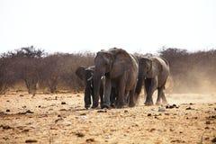 African elephants, Loxodonat africana,  herd goes to watering,  Etosha, Namibia Royalty Free Stock Photos